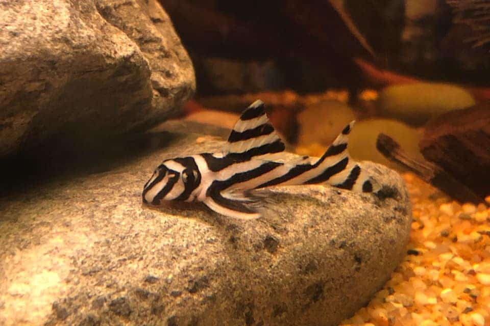 Hypancistrus zebra plecostomus