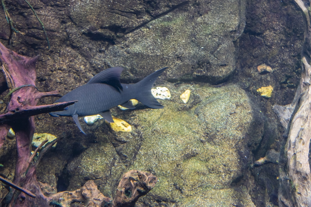 black freshwater aquarium shark