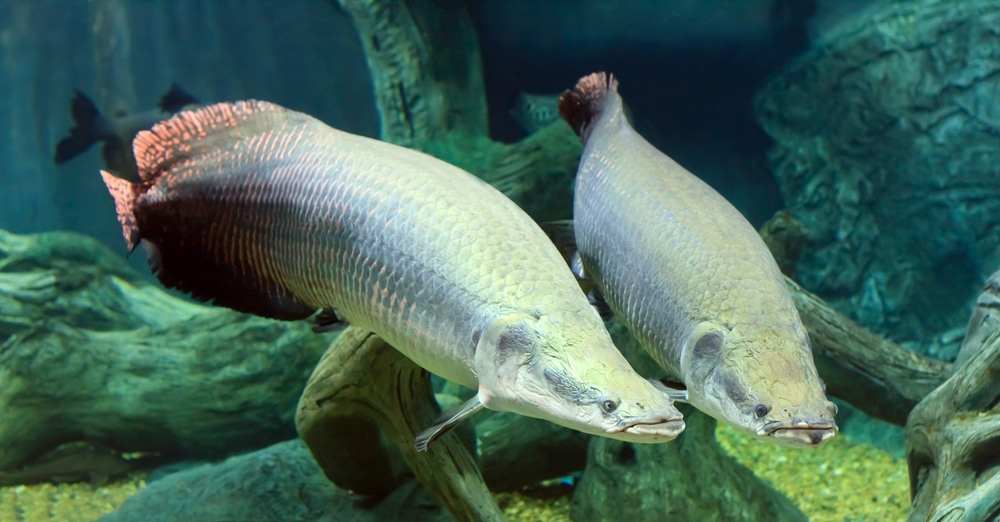 large two Arapaima fish in the Amazon under water