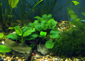 Anubias in a aquarium
