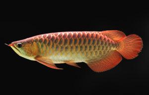 red arowana in fish tank