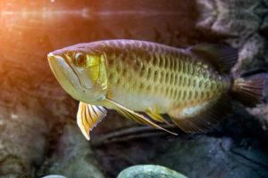 close up of arowana fish looking at camera