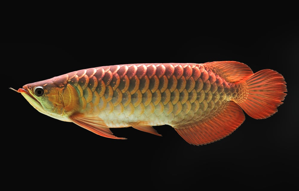 red arowana in fish tank
