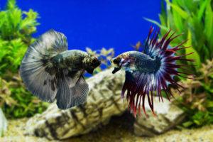 betta fish fighting in aquarium