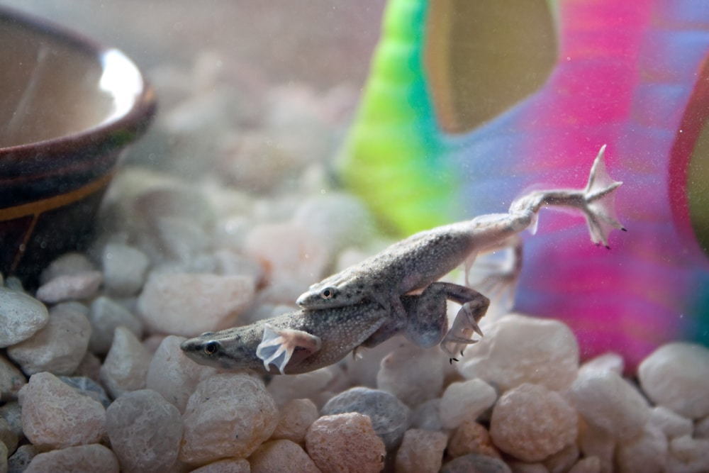 african dwarf frogs mating