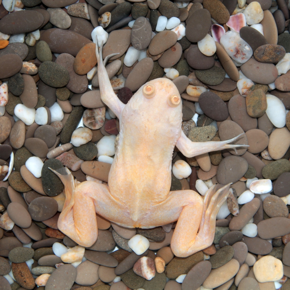 clawed frog