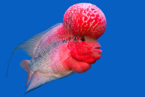 The crossbreed cichlid fish (flower horn) in a fish tank