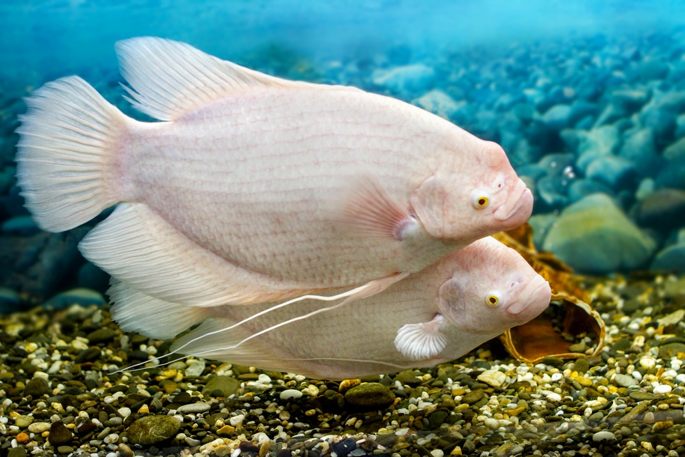 giant gourami swimming in fish tank