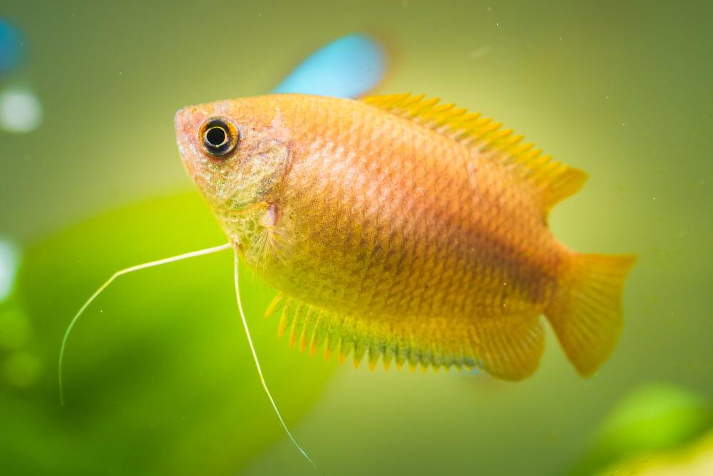 honey gourami in aquarium