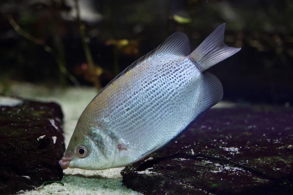 kissing gourami in aquarium