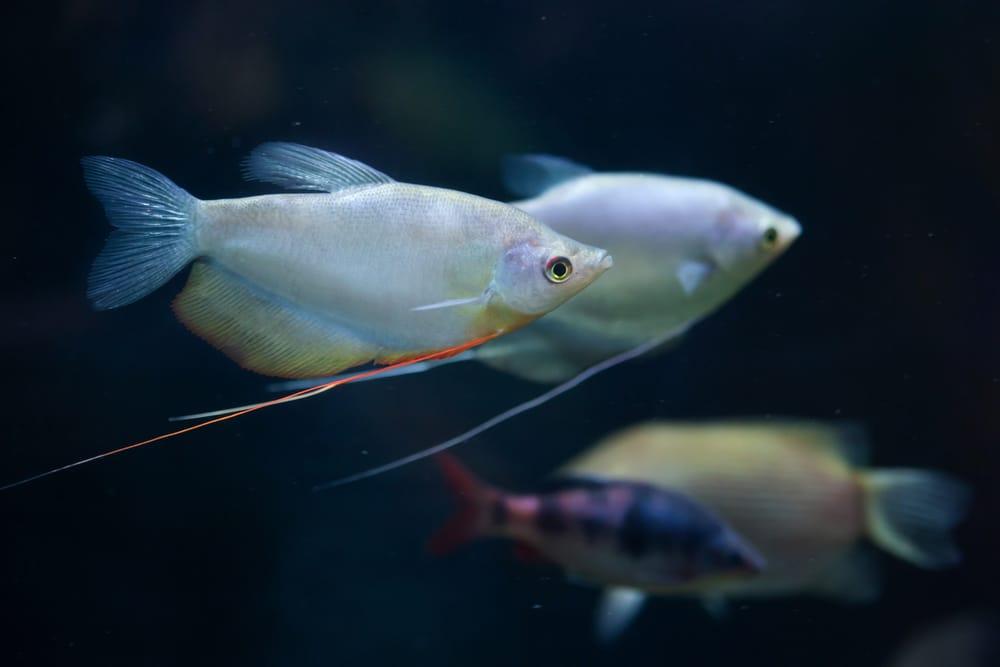 moonlight gourami in aquarium