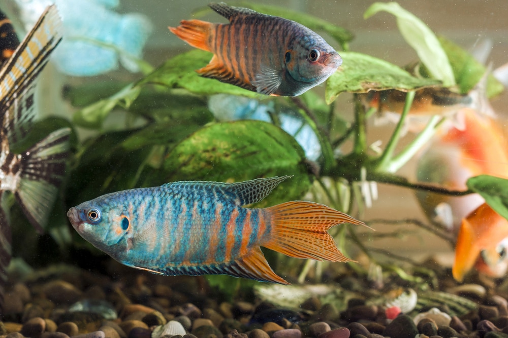 colorful paradise fish in fish tank