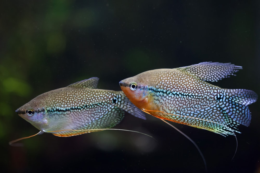 Pearl gourami (Trichopodus leerii), also known as the mosaic gourami.