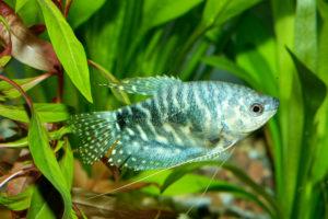 Trichopodus fish