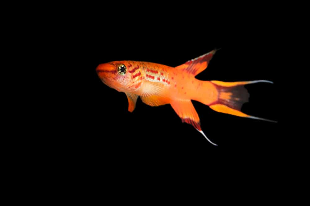 Lyretail Killifish, Aphyosemion australe, lyretail panchax