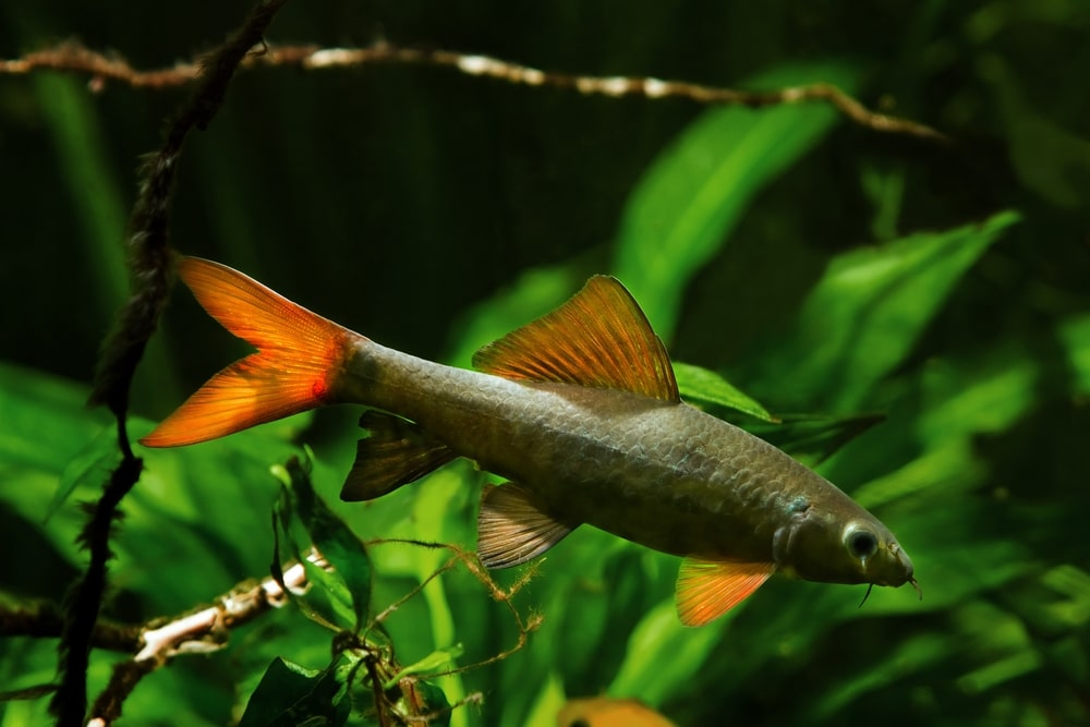 rainbow shark in aquarium
