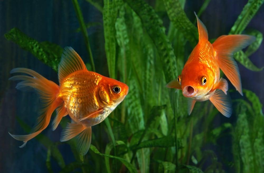 goldfish in aquarium with plants