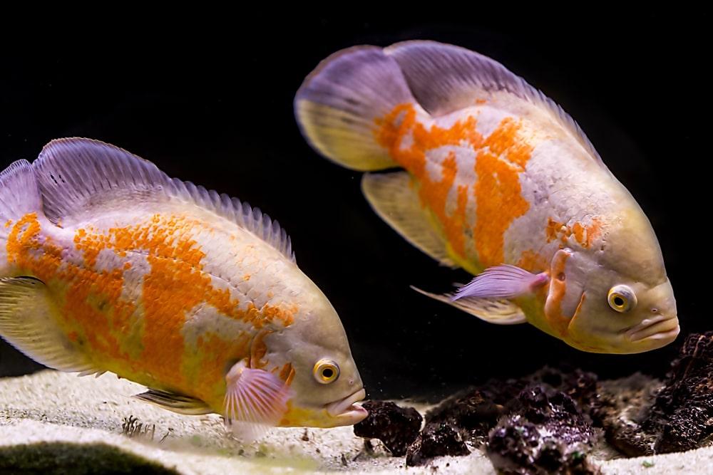 oscar in aquarium