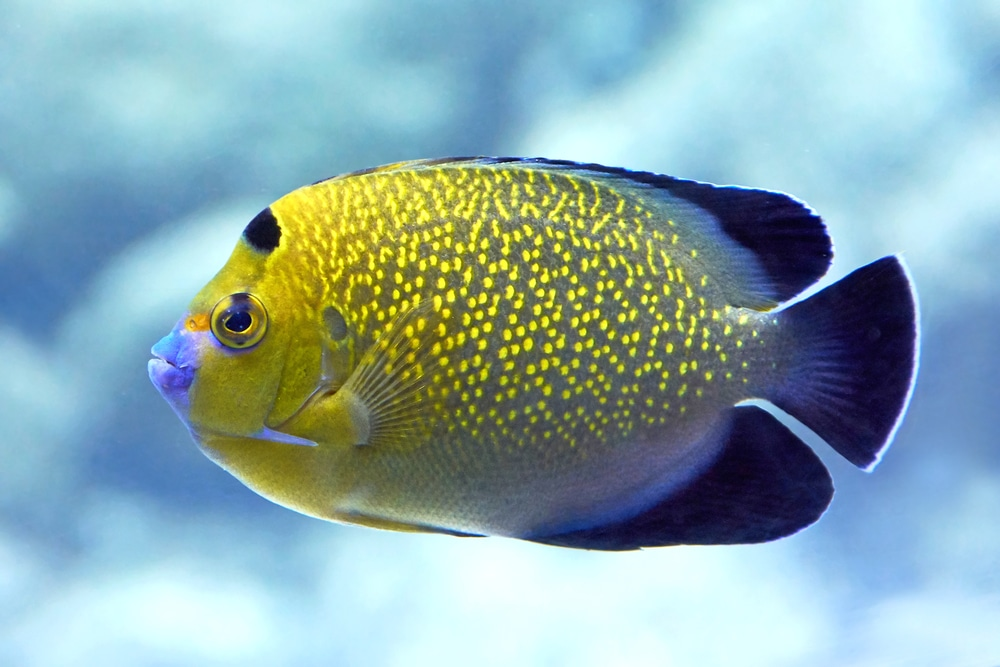 Closeup image of the Goldflake Angelfish
