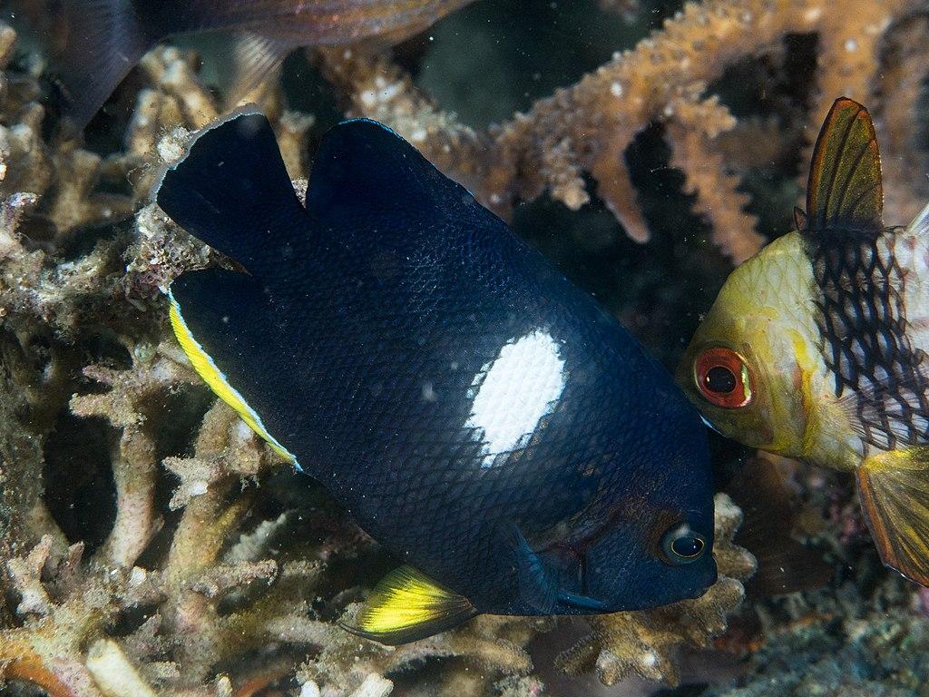 keyhole angelfish
