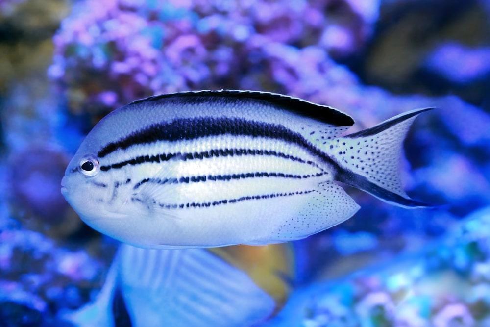 Angelfish - Genicanthus lamarck