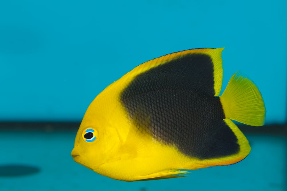 Rock Beauty Angelfish (Holacanthus tricolor) in Aquarium