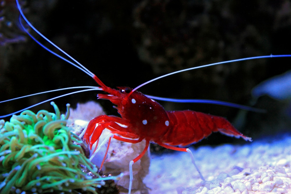 Lysmata debelius (red fire shrimp)