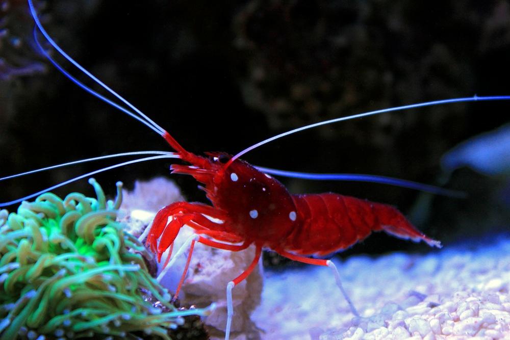Lysmata debelius (red fire shrimp)