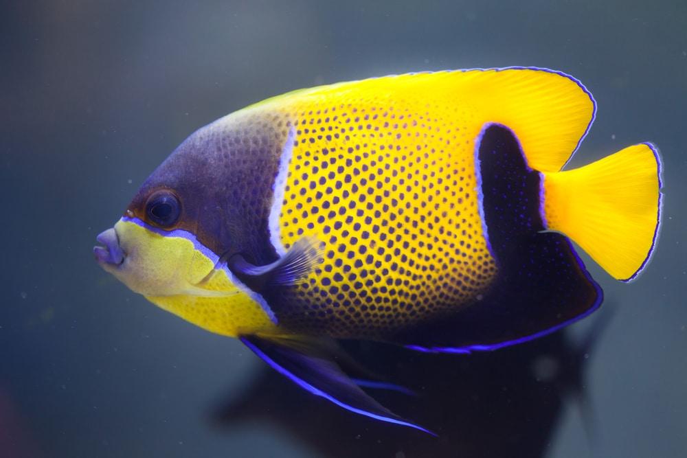 Blue-girdled angelfish (Pomacanthus navarchus)