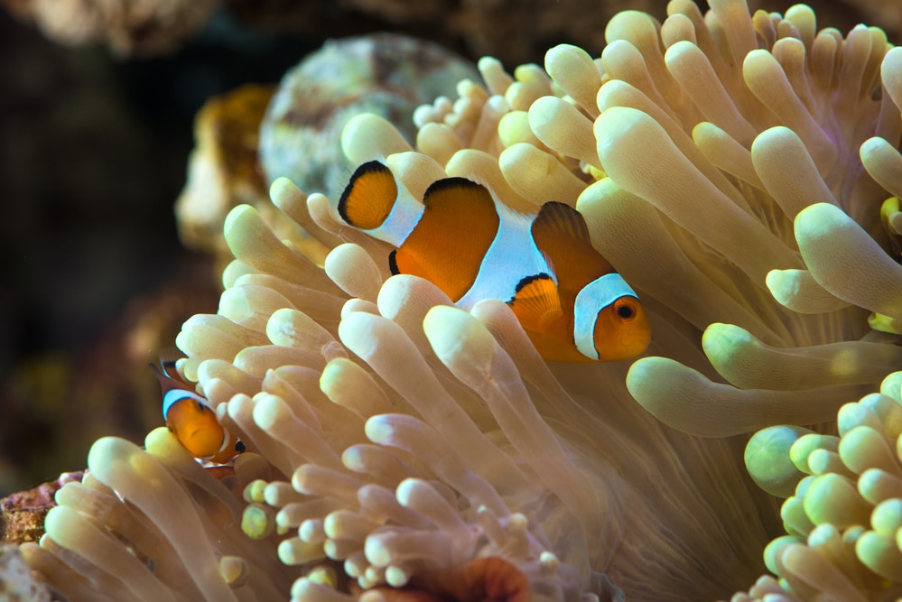 clown fish hosting on anemone