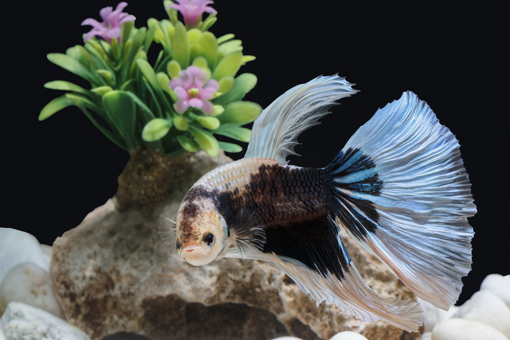 betta fish care aquarium