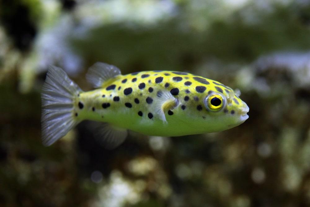 Green spotted puffer (Tetraodon nigroviridis)
