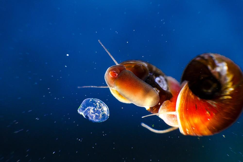 ramshorn snail on aquarium glass