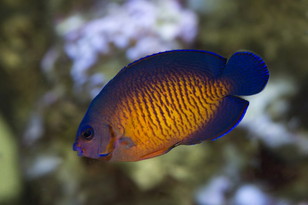 saltwater angelfish
