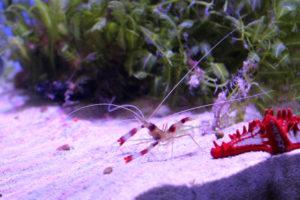 saltwater aquarium shrimp