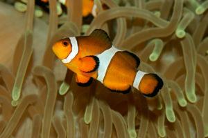 Clownfish anemone
