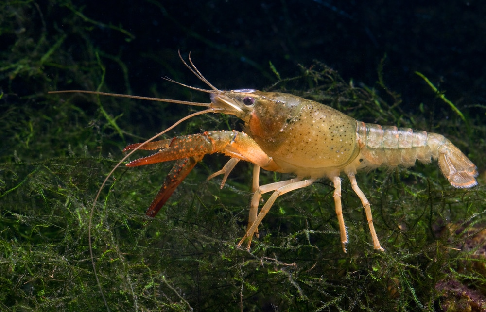 crayfish with plants
