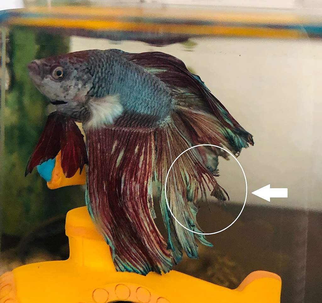 fin rot betta fish
