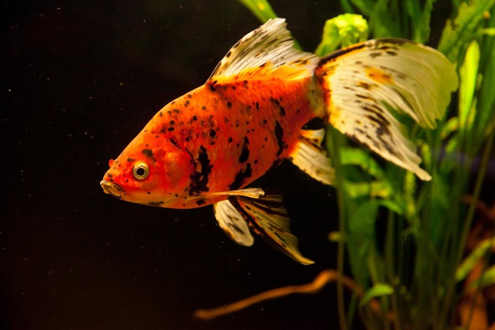 goldfish tank mates