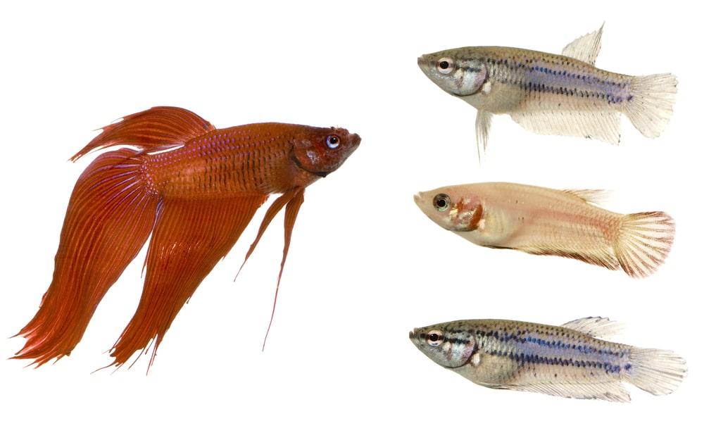 Male and Female betta fish