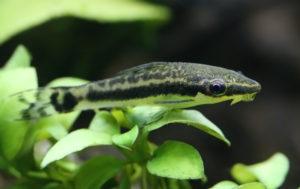 Otocinclus catfish in planted aquarium