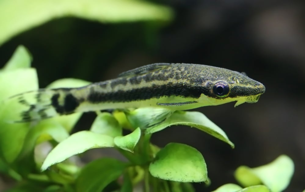 Otocinclus catfish in planted aquarium