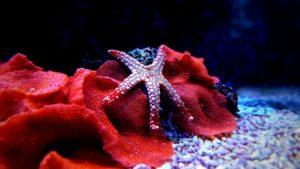 saltwater starfish in aquarium