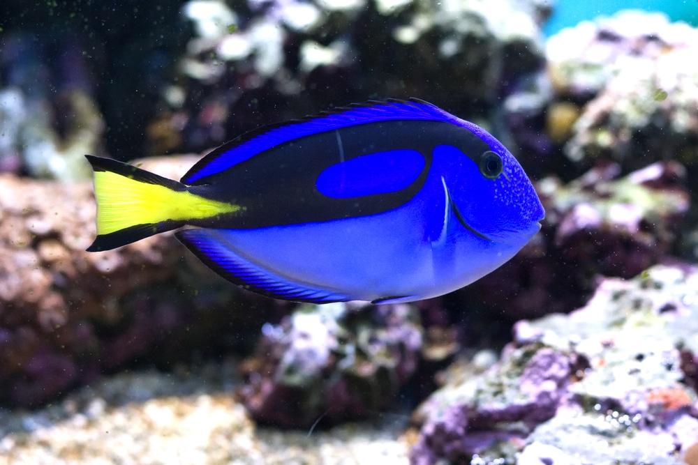 royal blue tang