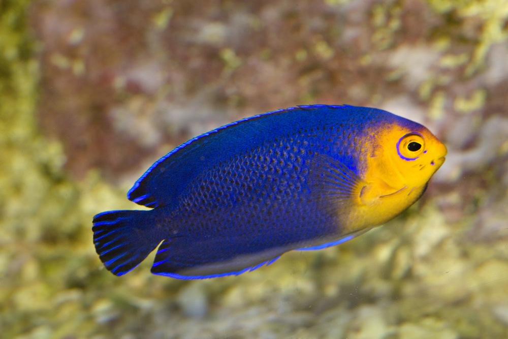 Pygmy or Cherub Angelfish (Centropyge argi)