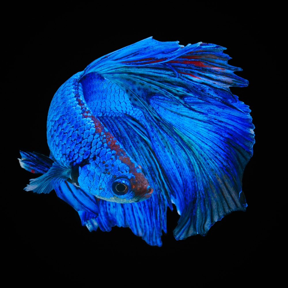 blue betta fish