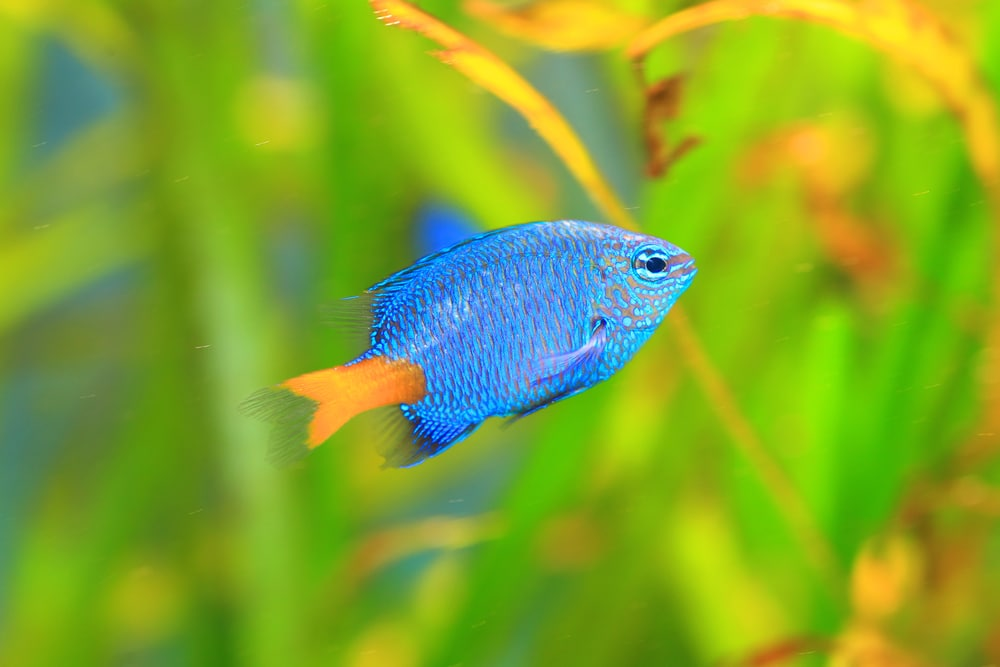 yellow tail damselfish