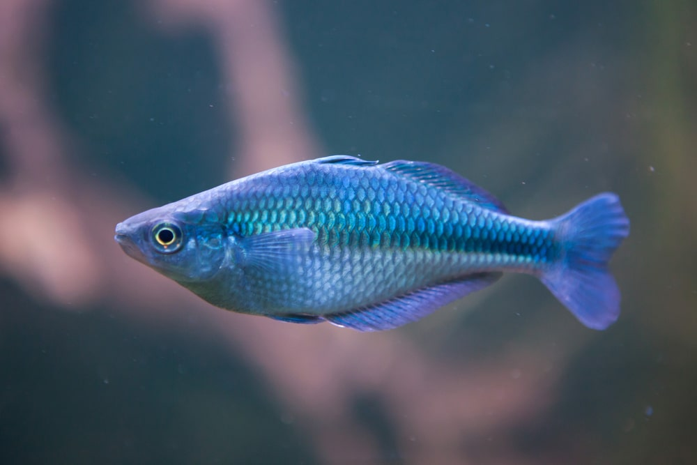 Lake Kutubu rainbowfish (Melanotaenia lacustris)