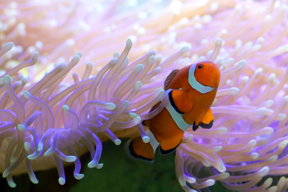 10 Compatible Clownfish Tank Mates Species Guide