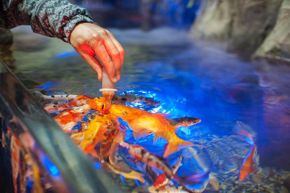 Comida casera para peces en acuario.
